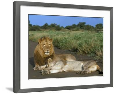 Lion and Lioness (Panthera Leo), Kruger National Park, South Africa, Africa-Steve & Ann Toon-Framed Photographic Print