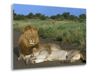 Lion and Lioness (Panthera Leo), Kruger National Park, South Africa, Africa-Steve & Ann Toon-Metal Print