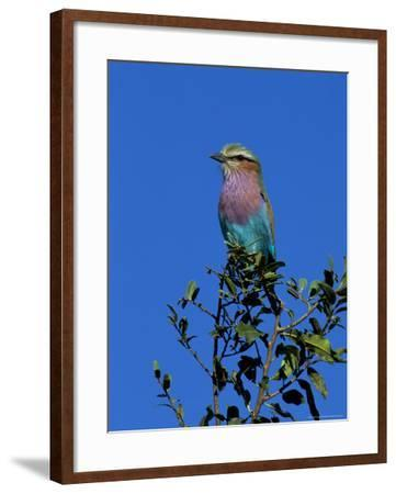 Lilac-Breasted Roller (Coracias Caudata), Kruger National Park, South Africa, Africa-Steve & Ann Toon-Framed Photographic Print