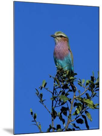 Lilac-Breasted Roller (Coracias Caudata), Kruger National Park, South Africa, Africa-Steve & Ann Toon-Mounted Photographic Print