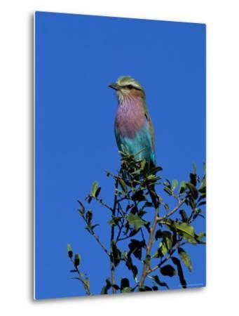 Lilac-Breasted Roller (Coracias Caudata), Kruger National Park, South Africa, Africa-Steve & Ann Toon-Metal Print