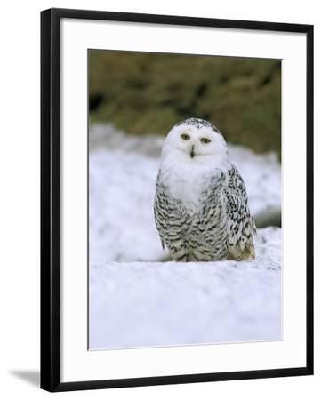 Captive Snowy Owl (Nictea Scandiaca)-Steve & Ann Toon-Framed Photographic Print