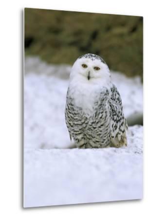 Captive Snowy Owl (Nictea Scandiaca)-Steve & Ann Toon-Metal Print