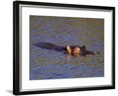 Common Hippopotamus (Hippopotamus Amphibius), Kruger National Park, South Africa, Africa-Steve & Ann Toon-Framed Photographic Print