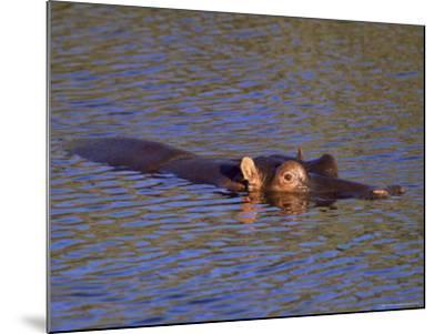 Common Hippopotamus (Hippopotamus Amphibius), Kruger National Park, South Africa, Africa-Steve & Ann Toon-Mounted Photographic Print