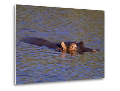 Common Hippopotamus (Hippopotamus Amphibius), Kruger National Park, South Africa, Africa-Steve & Ann Toon-Metal Print