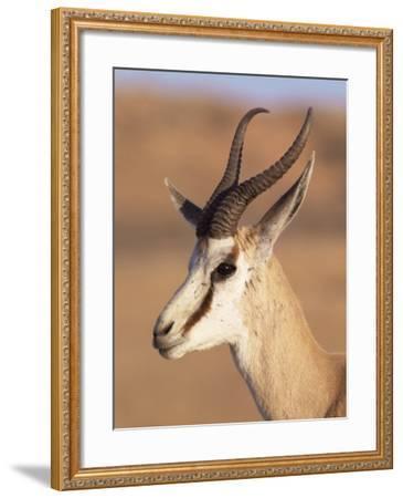 Male Springbok (Antidorcas Marsupialis), Kalahari Gemsbok National Park, South Africa, Africa-Steve & Ann Toon-Framed Photographic Print