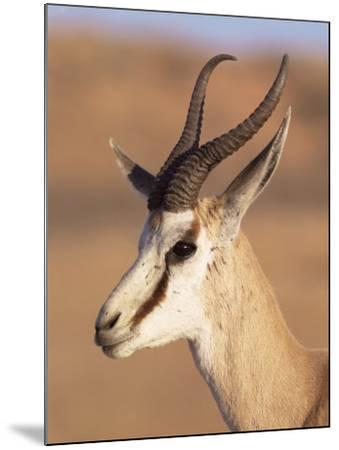 Male Springbok (Antidorcas Marsupialis), Kalahari Gemsbok National Park, South Africa, Africa-Steve & Ann Toon-Mounted Photographic Print