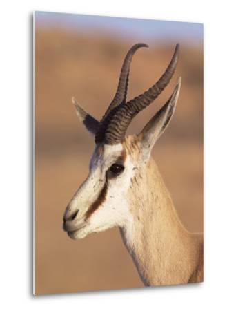 Male Springbok (Antidorcas Marsupialis), Kalahari Gemsbok National Park, South Africa, Africa-Steve & Ann Toon-Metal Print