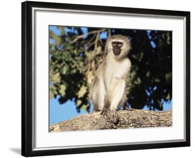 Vervet Monkey (Cercopithecus Aethiops), Kruger National Park, South Africa, Africa-Steve & Ann Toon-Framed Photographic Print