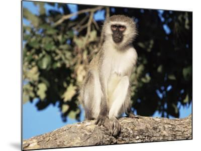 Vervet Monkey (Cercopithecus Aethiops), Kruger National Park, South Africa, Africa-Steve & Ann Toon-Mounted Photographic Print
