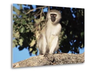 Vervet Monkey (Cercopithecus Aethiops), Kruger National Park, South Africa, Africa-Steve & Ann Toon-Metal Print