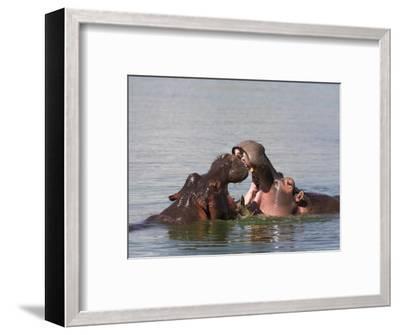 Hippos, Hippopotamus Amphibius, Playfighting in Kruger National Park, Mpumalanga, South Africa-Steve & Ann Toon-Framed Photographic Print