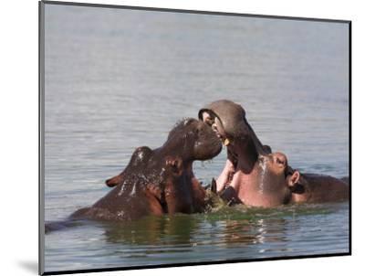 Hippos, Hippopotamus Amphibius, Playfighting in Kruger National Park, Mpumalanga, South Africa-Steve & Ann Toon-Mounted Photographic Print