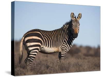Cape Mountain Zebra, Equus Zebra Zebra, Mountain Zebra National Park, Eastern Cape, South Africa-Steve & Ann Toon-Stretched Canvas Print