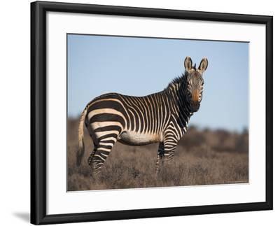 Cape Mountain Zebra, Equus Zebra Zebra, Mountain Zebra National Park, Eastern Cape, South Africa-Steve & Ann Toon-Framed Photographic Print