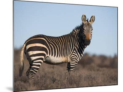 Cape Mountain Zebra, Equus Zebra Zebra, Mountain Zebra National Park, Eastern Cape, South Africa-Steve & Ann Toon-Mounted Photographic Print