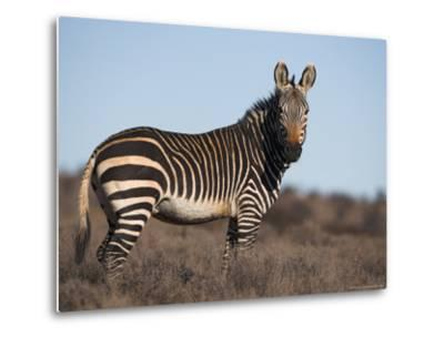 Cape Mountain Zebra, Equus Zebra Zebra, Mountain Zebra National Park, Eastern Cape, South Africa-Steve & Ann Toon-Metal Print