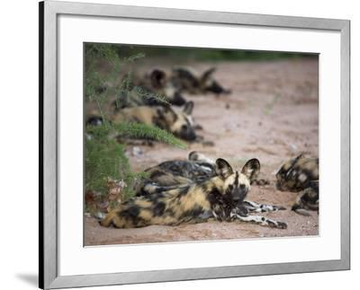 African Wild Dog, Lycaon Pictus, Venetia Limpopo Nature Reserve, South Africa, Africa-Steve & Ann Toon-Framed Photographic Print