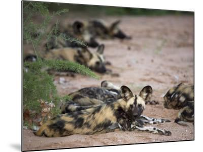 African Wild Dog, Lycaon Pictus, Venetia Limpopo Nature Reserve, South Africa, Africa-Steve & Ann Toon-Mounted Photographic Print