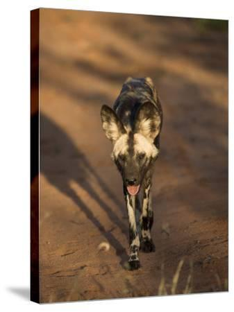 African Wild Dog, Lycaon Pictus, Venetia Limpopo Nature Reserve, South Africa, Africa-Steve & Ann Toon-Stretched Canvas Print
