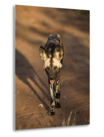 African Wild Dog, Lycaon Pictus, Venetia Limpopo Nature Reserve, South Africa, Africa-Steve & Ann Toon-Metal Print