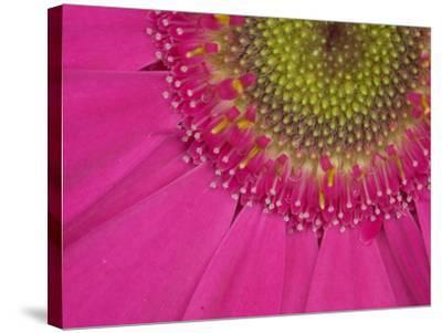 Gerbera, Shocking Pink, United Kingdom-Steve & Ann Toon-Stretched Canvas Print