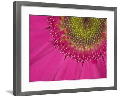 Gerbera, Shocking Pink, United Kingdom-Steve & Ann Toon-Framed Photographic Print