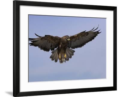 Buzzard (Buteo Buteo), Flying, Captive, Cumbria, England, United Kingdom-Steve & Ann Toon-Framed Photographic Print