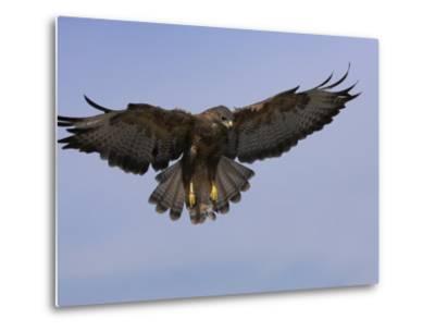Buzzard (Buteo Buteo), Flying, Captive, Cumbria, England, United Kingdom-Steve & Ann Toon-Metal Print