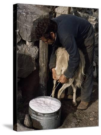 Shepherd Milking Sheep for Cheese, Island of Crete, Greece-Loraine Wilson-Stretched Canvas Print