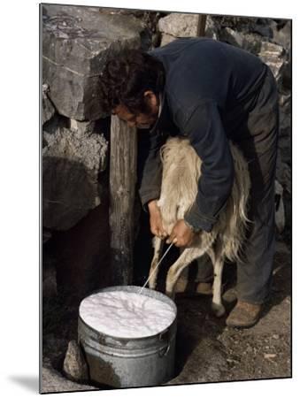 Shepherd Milking Sheep for Cheese, Island of Crete, Greece-Loraine Wilson-Mounted Photographic Print