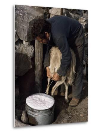 Shepherd Milking Sheep for Cheese, Island of Crete, Greece-Loraine Wilson-Metal Print