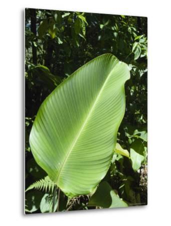 Leaf, Arenal Area, Costa Rica, Central America-R H Productions-Metal Print