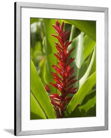 Ginger, Costa Rica, Central America-R H Productions-Framed Photographic Print