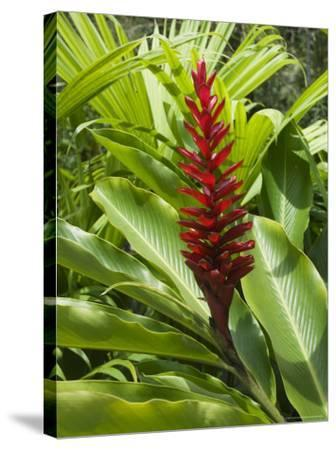 Ginger, Costa Rica, Central America-R H Productions-Stretched Canvas Print
