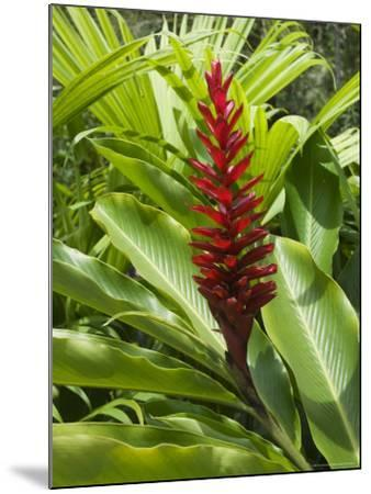 Ginger, Costa Rica, Central America-R H Productions-Mounted Photographic Print