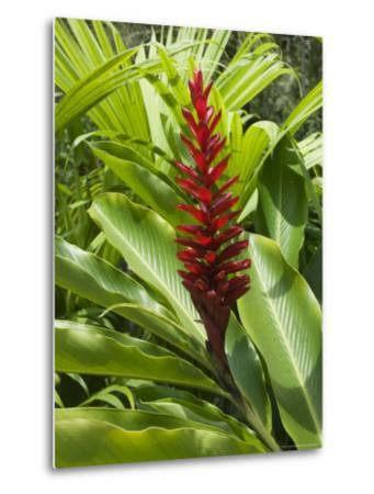 Ginger, Costa Rica, Central America-R H Productions-Metal Print