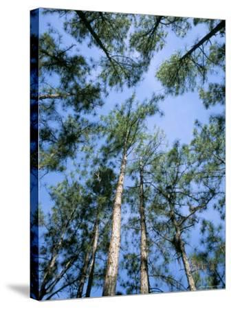 Pines and Sky, Mountain Pine Ridge, Belize, Cental America-Upperhall-Stretched Canvas Print