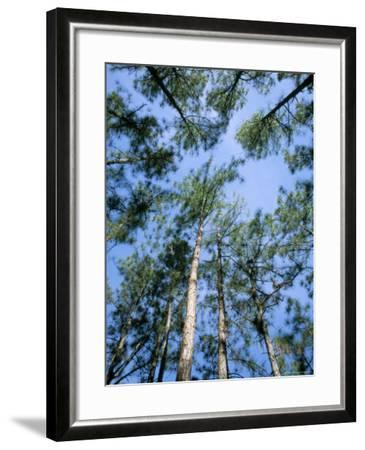 Pines and Sky, Mountain Pine Ridge, Belize, Cental America-Upperhall-Framed Photographic Print