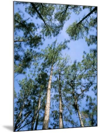 Pines and Sky, Mountain Pine Ridge, Belize, Cental America-Upperhall-Mounted Photographic Print