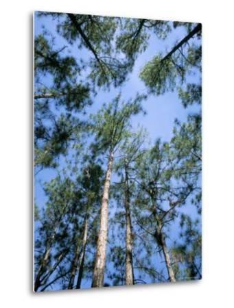 Pines and Sky, Mountain Pine Ridge, Belize, Cental America-Upperhall-Metal Print