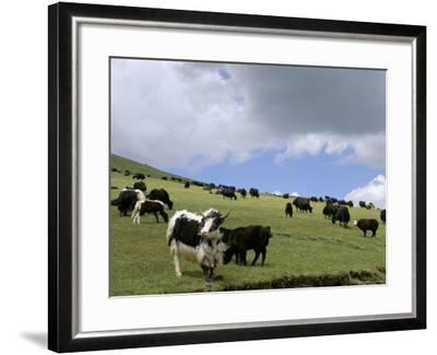Herd of Yak, Including a White Yak, Lake Son-Kul, Kyrgyzstan, Central Asia-Upperhall-Framed Photographic Print
