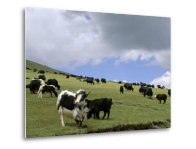 Herd of Yak, Including a White Yak, Lake Son-Kul, Kyrgyzstan, Central Asia-Upperhall-Metal Print