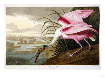 Roseate Spoonbill (Platalea Ajaja)-Henry Thomas Alken-Framed Giclee Print