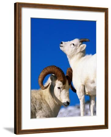 Two Dall Sheep, Denali National Park and Preserve, Alaska-Mark Newman-Framed Photographic Print
