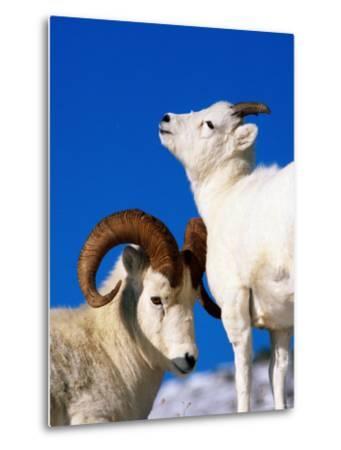 Two Dall Sheep, Denali National Park and Preserve, Alaska-Mark Newman-Metal Print