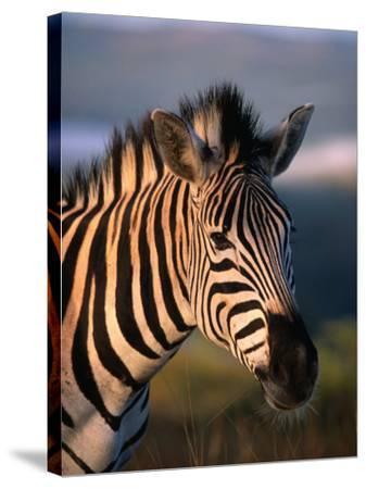 Plains Zebra, Burchell's Zebra, Hluhluwe-Umfolozi Park, Kwazulu-Natal, South Africa-Ariadne Van Zandbergen-Stretched Canvas Print