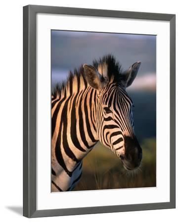 Plains Zebra, Burchell's Zebra, Hluhluwe-Umfolozi Park, Kwazulu-Natal, South Africa-Ariadne Van Zandbergen-Framed Photographic Print