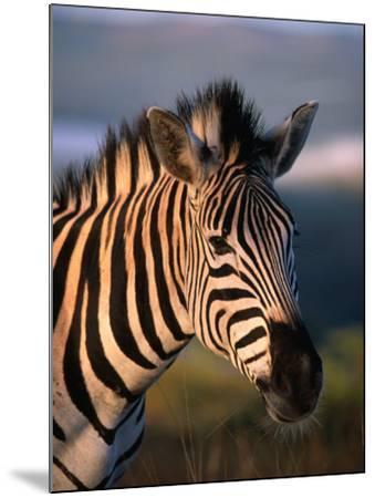 Plains Zebra, Burchell's Zebra, Hluhluwe-Umfolozi Park, Kwazulu-Natal, South Africa-Ariadne Van Zandbergen-Mounted Photographic Print
